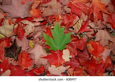 One green leaf on the ground (fall)