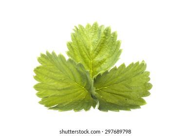 One green leaf strawberry