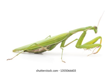 One green mantis isolated on a white background.