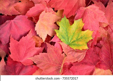 One green maple leaf among red ones