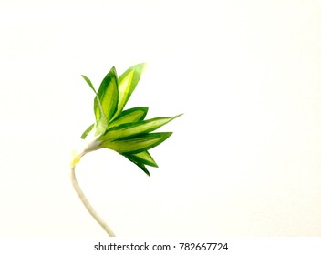 One green tree isolated for texture on white background