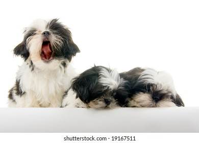 One of a group of three happy, playful Shih Tzu puppies looks like he is singing while the other two appear bored - or annoyed.
