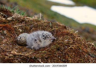 One gull chick hatched, the second is at the stage of cracking in the shell. Glaucous gull (Larus hyperboreus) nest from the high Arctic latitudes.