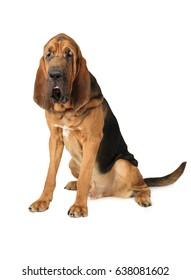 One and a half year old purebred Bloodhound dog isolated on a white background