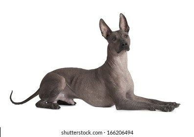 One and half years old Mexican xoloitzcuintle male dog over white