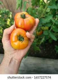 One hand holding two rustic looking tomatoes from a first person perspective