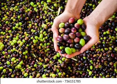 One hand takes in the hands of the olives that have just fallen from the tree for the production of extra virgin olive oil produced in italy to control the quality. Concept of: Italian tradition, bio.