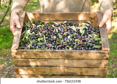 One hand takes  the olives that have just fallen from the tree for the production of extra virgin olive oil produced in italy to control the quality. Concept of: Italian tradition, bio.