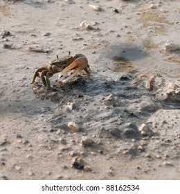 one handed crab moving in a pond (crustacean from Antigua)