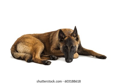 One happy calm young male Belgian Malinois puppy isolated on a white background lying down relaxed.