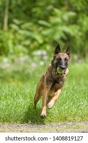One happy and healthy male Belgian Malinois shepherd dog playing outside during summertime. Training and exercising active dog breed.