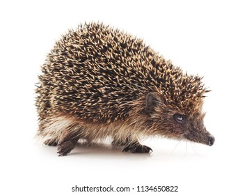 One hedgehog isolated on a white background.
