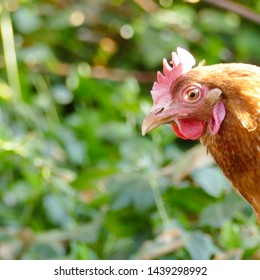 One hen from the side on a farmyard