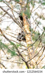 One hiding wild raccoon climbing pine tree trunk, foraging, looking for food, hanging in park outside, outdoors, looking for forage, wildlife