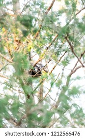One hiding wild raccoon climbing pine tree trunk leaves, foraging, looking for food, hanging in park outside, outdoors, looking for forage, wildlife