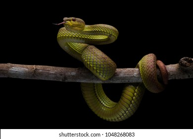 One of the high venom snake. This Snake is endemic reptile in java. It's very dangerous snake anda have deadly bite.