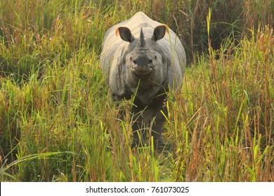 One horned Indian Rhinoceros in Kaziranga National Park, Assam, India