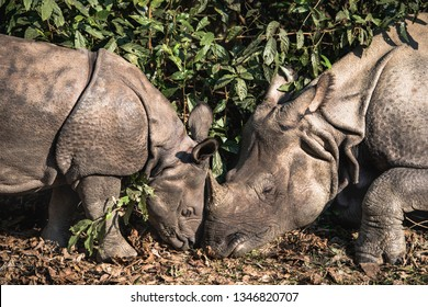 One horned rhino mother and baby in Nepal