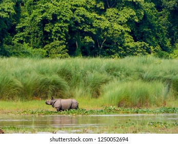One horned rhino spotted in a river bank Chitwan National Park, Nepal