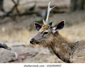 One horned Sambar indicates survival after a struggle. The sambar deer is largest deer species native to the Indian Subcontinent,