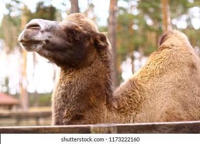 one humped camel in open air summer zoo close up photo