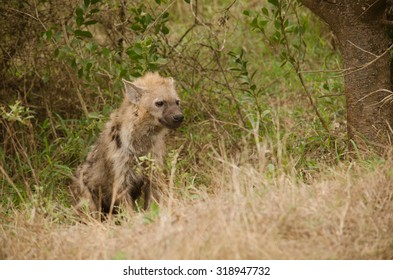 one hyena standing looking at the road