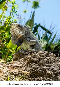 One iguana taking the sun on a rock in Guadeloupe, French caraibe
