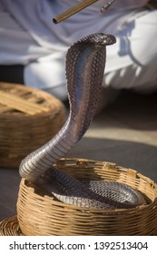 one india cobra in the basket of Snake charmer Jaipur India.  The Indian cobra is revered in Indian mythology and culture, and is often seen with snake charmers.