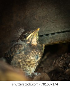 one isolated young blackbird is sitting in a Blackbird nest, photo is in brown colors, the young blackbird is locking to the photographer, macro photo, shot is closeup, baby blackbird with baby fluff