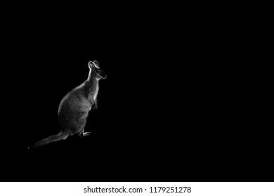 one kangaroo isolated on black background