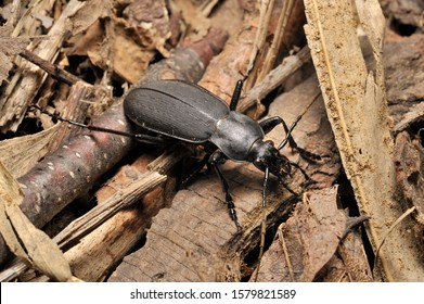 One kind of carabid beetles. Carabus Diocarabus opaculus opaculus.