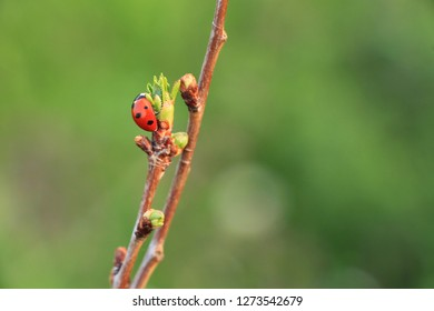 One ladybug on branch
