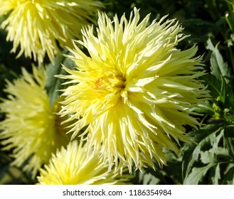 Thin petals images stock photos vectors shutterstock one large aster flower close up a plant of yellow color with a lot mightylinksfo