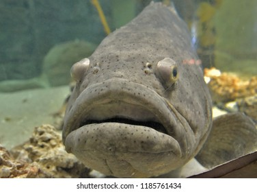 One of the largest fish in Gulf of Mexico the Goliath Grouper in aquarium seems depressed in captivity