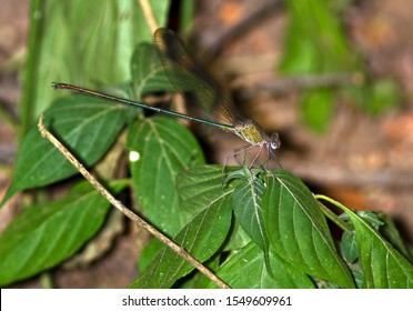 One of the largest of the Glitterwings, the Emerald or Malachite Damselfly is a jewel as it flits through the thick riverine vegetation along rivers and stream banks as it chases prey
