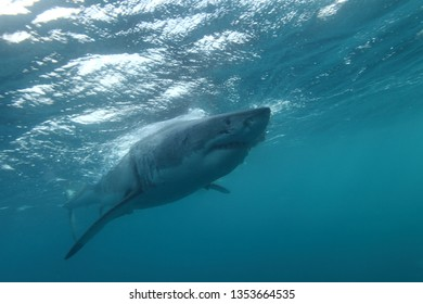 one of the largest great white sharks, Carcharodon carcharias, ever observed, a 5.5 meter female named Jumbo, Neptune Islands, South Australia, Indian Ocean