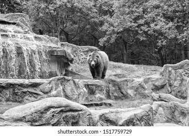 One of the largest land predators. Wild bear species. Brown bear on natural landscape. Bear or Ursus arctos, predatory mammal. Wild animal of the bear family.