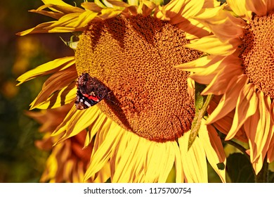 One of the last butterflies of the summer has landed on a giant sunflower. The European peacock is quite common butterfly in the Northern Finland.