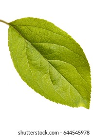 One leaf of an apple tree. Isolated on white background