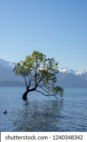 One, leafy tree stands in Lake Wanaka, surrounded by water and snowy mountains in Wanaka, South Island, New Zealand.