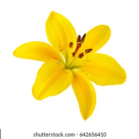 One lily on a white background
