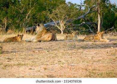 One lioness with four cubs laying down resting