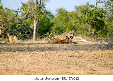 One lioness getting angry with cub while two others rest