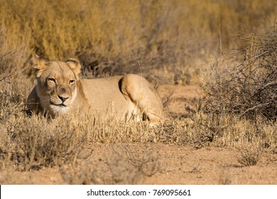 One lioness laying down in the veld in the Kgalagadi Transfrontier Park in South Africa