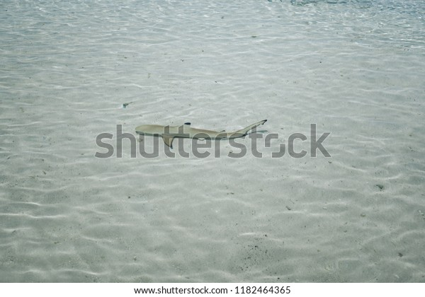 One Little Baby Shark Swimming Shallow Stock Photo (Edit Now