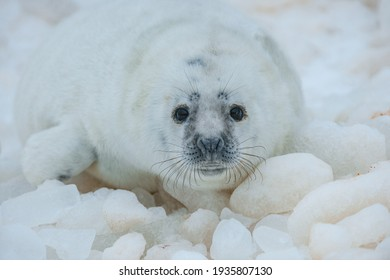 One little cub seal lies in the snow at the Riga gulf coast
