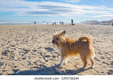 One little cute hairy brown dog standing still on a sandy beach on a sunny day