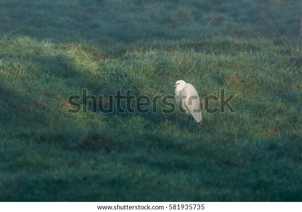 One Little Egret standing in field