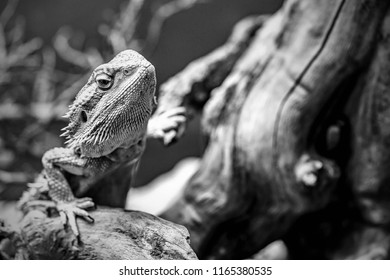 one lizard an iguana creeps from the shelter with an open eye and a closeup monochrome tone