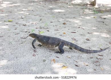 one  lizard on white beach, Koh Rok, Thailand